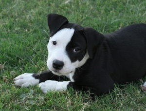 black-pitbull-puppies-photos